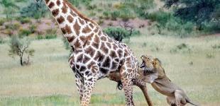 Схватка в дикой саванне: пара львов и пятиметровый жираф