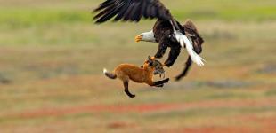 Уникальные фото: орлан отбирает добычу лисы