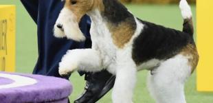 Westminster Kennel Club Dog Show: фокстерьер Король победил на международной выставке собак в Нью-Йорке