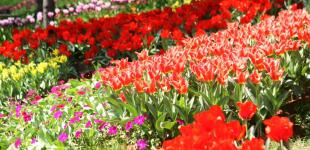 Городская выставка тюльпанов