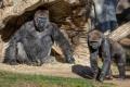 У горилл впервые в мире обнаружили COVID-19