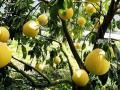 Украинцам продавали отравленные пестицидами цитрусовые
