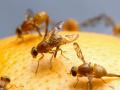 Нашествие опасных мух из Африки: в Киеве задержали 25 тонн зараженных апельсинов