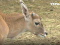 В Винницком зоопарке родилась антилопа редкой породы