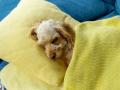 В Германии владельцев животных обяжут сообщать о COVID-19 у питомца