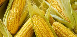 Украина вытесняет США с рынка кукурузы Китая - СМИ