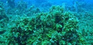 Корабли заразили смертельной инфекцией кораллы на Карибах