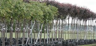 В Киеве бесплатно раздают саженцы деревьев
