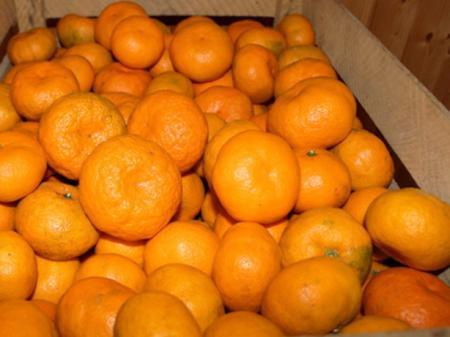 Мандарин на пике продаж: как выбрать правильный фрукт