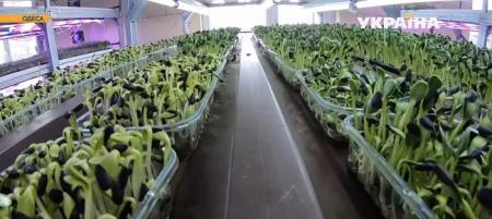 12 врожаїв на рік без землі та сонця. Що таке сіті-ферми і як це працює в Україні