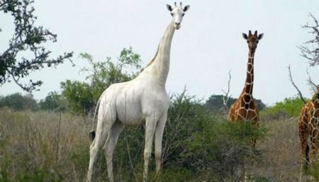 Единственного в мире белого жирафа спасают от браконьеров с помощью GPS-трекера