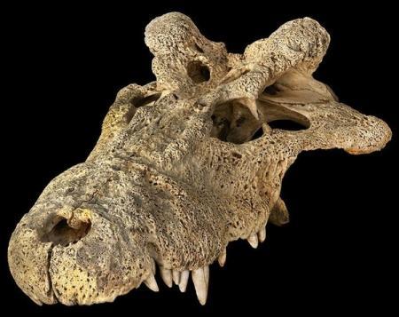 Странный рогатый крокодил мог быть родственником современных крокодилов