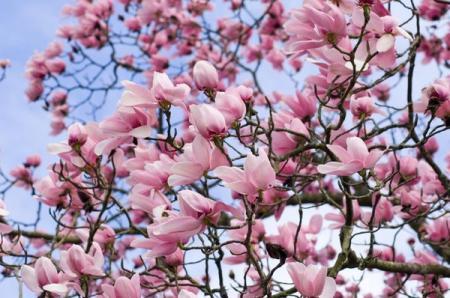 Magnolia_15.04.18
