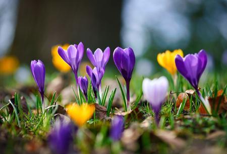 Spring_Closeup_Crocuses_Bokeh_Grass_580238_1280x871_28.02.21