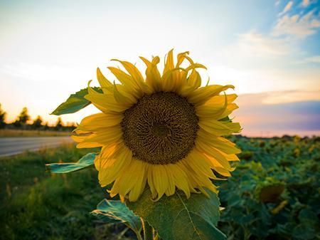 Украина обеспечит половину мирового прироста урожая подсолнечника - USDA