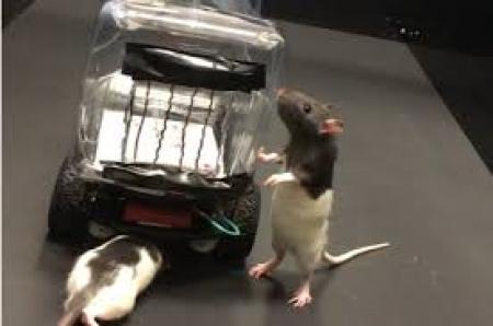Крыс научили водить автомобиль в Университете Ричмонда, США