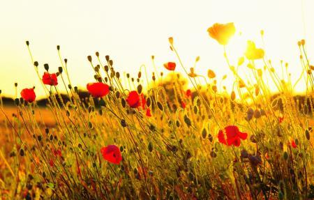 maki-cvety-krasnye-pole-trava_04.06.21