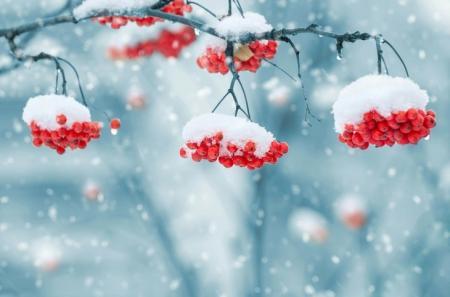snow-on-berries-1379880_1280_26.01.21