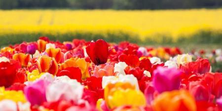 tulip-1375716_1280_04.04.20