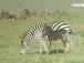 """В Кении появилась """"леопардовая"""" зебра"""
